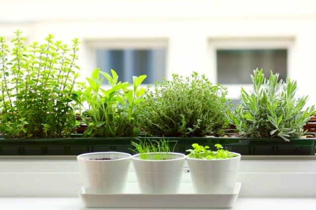12 Best Herbs to Grow Indoors | Indoor Herbs | Balcony Garden Web